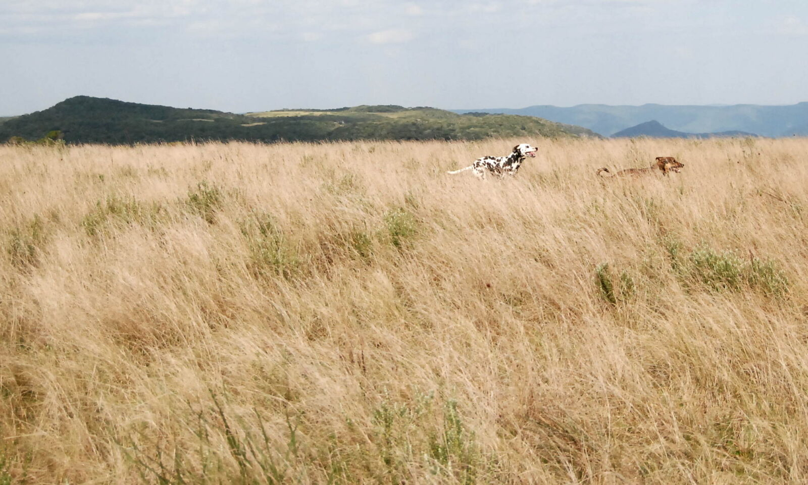cachorros campo