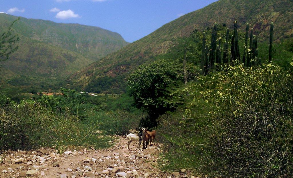 cabras trilha