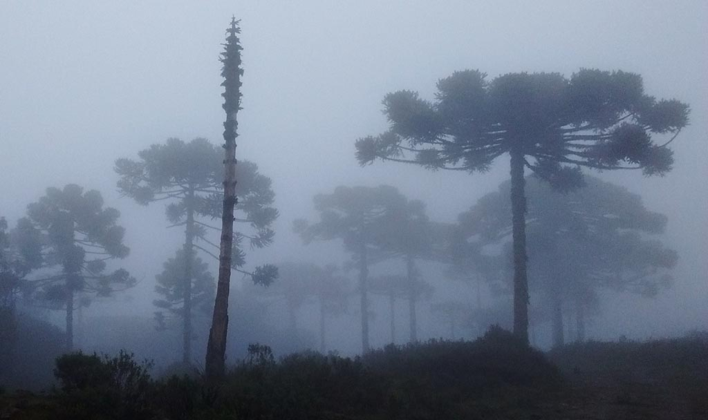 araucarias neblina