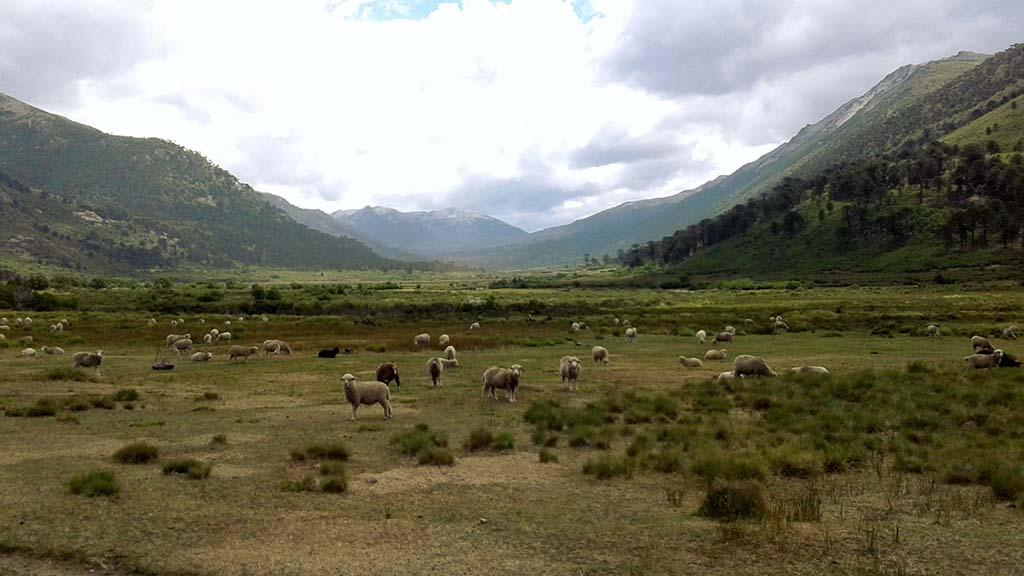 ovelhas montanhas